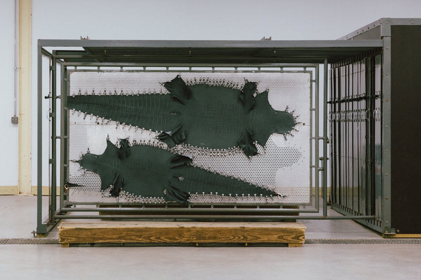 American Alligator Frank Clegg 10 1